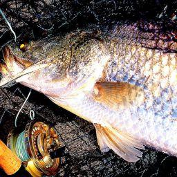 Al barramundi, pesce simbolo del continente australiano, vengono dedicati centinaia di trofei e Fishing Tournament che raccolgono migliaia di anglers.