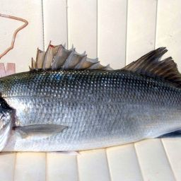 Traina costiera alla spigola. Traina con gli artificiali i minnow