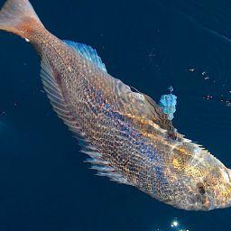 La pesca sportiva del dentice, in particolare la traina col vivo, se mal gestita dal fisherman, può compromettere la sopravvivenza della specie