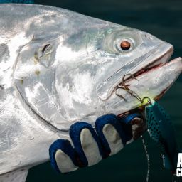 Il Queenfish, carangide dall'argentea livrea.