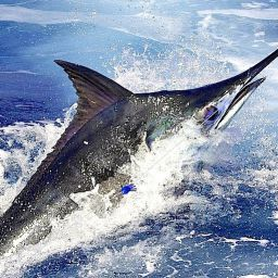 """il blu marlin, preda simbolo della traina d'altura. entrato nella leggenda grazie a """"Il vecchio e il mare"""" di Hemingway"""