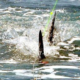 FISHING – L'ATTACCO DEL BLU MARLIN, il sogno di tutti i fisherman.
