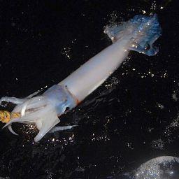 La pesca del totano nero si effettua ancora come nacque tanti anni fa, con esche artificiali fatte a mano.
