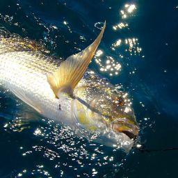 Traina al dentice: calamaro e seppia morta con luci stroboscopiche