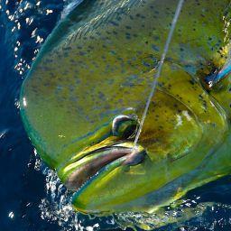 La pesca alla lampuga: drifting e pesca a traina con gli artificiali.