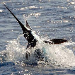 A traina con le esche artificiali alla ricerca del marlin bianco nel Mar Ligure