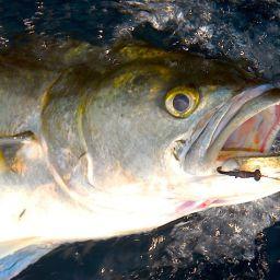 la pesca al pesce serra: catture in tutto il Mediterraneo