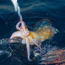 Pescando a mano e con una sola totanara pesante, è possibile sentire il momento in cui il cefalopode soffia l'acqua sull'esca prima dell'attacco.