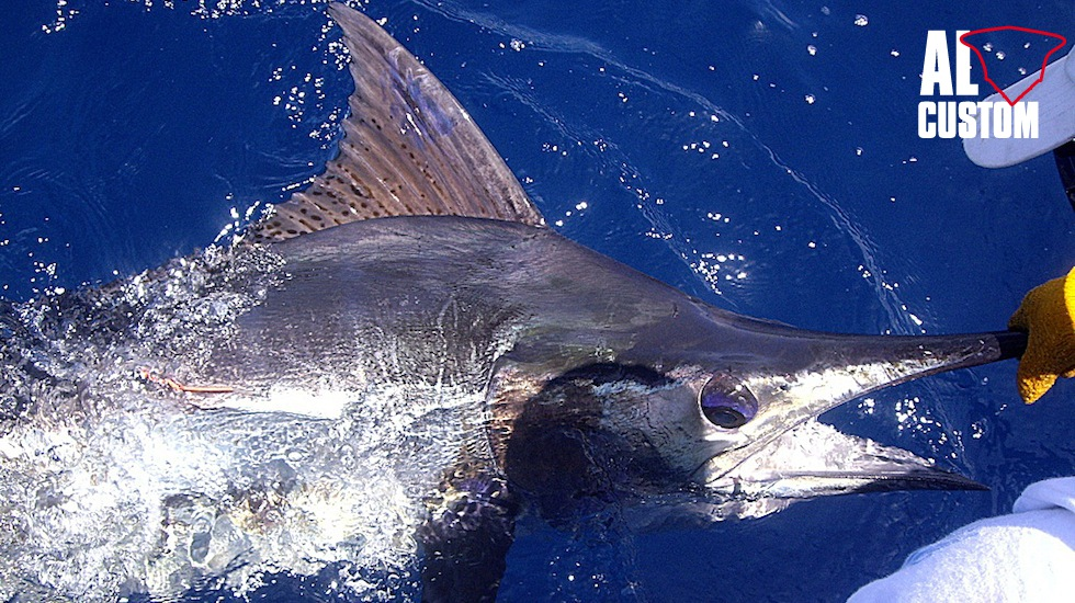 Well thanks to the I.G.F.A. it now begins to be outlined a map of the average distance traveled by these billfish.
