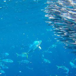 Il fenomeno che porta i pesci a raggrupparsi al di sotto di oggetti galleggianti ha generato varie teorie sul fenomeno di attrazione dei FADs. Vedialmole.