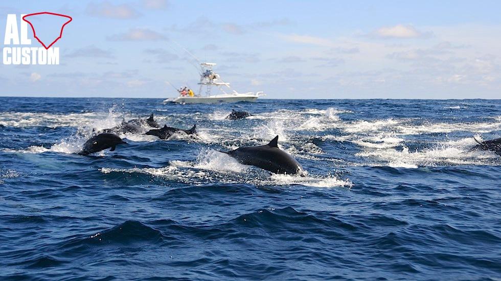 Delfini in caccia su una palla di sardine a galla: spesso sinonimo di tonni in attività...