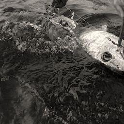 Tonno rosso catch and release. Dopo un combattimento in top shot, da bordo dell?AL21 Akabatuna, immagini del rilascio.
