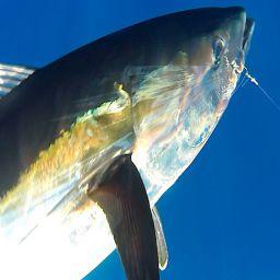 drifting al tonno in Liguria su fishing boat AL CUSTOM AL21 Hottuna
