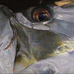Il tarpon pesce sportivo per eccellenza. Vive in mare ma anche in estuari, fiumi e laghi grazie alla sua capacità di adattamento.