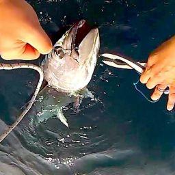 Spinning al tonno sulla fishing boato ALCUSTOM AL19 Patapiti. Pesca al tonno rosso nell'Adriatico Meridionale.
