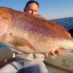 dentice pescato nel Golfo di Alaçati, Traina col vivo ai dentici