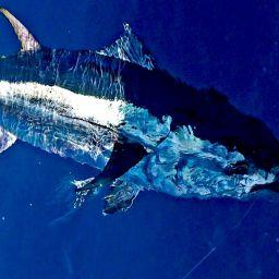 tonno, pesca sportiva al tonno. Drifting al tonno in catch and release.