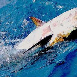 """Drifting al tonno su fishing boat ALCUSTOM AL21 """"Albatros"""". Piattaforma Fauzia"""