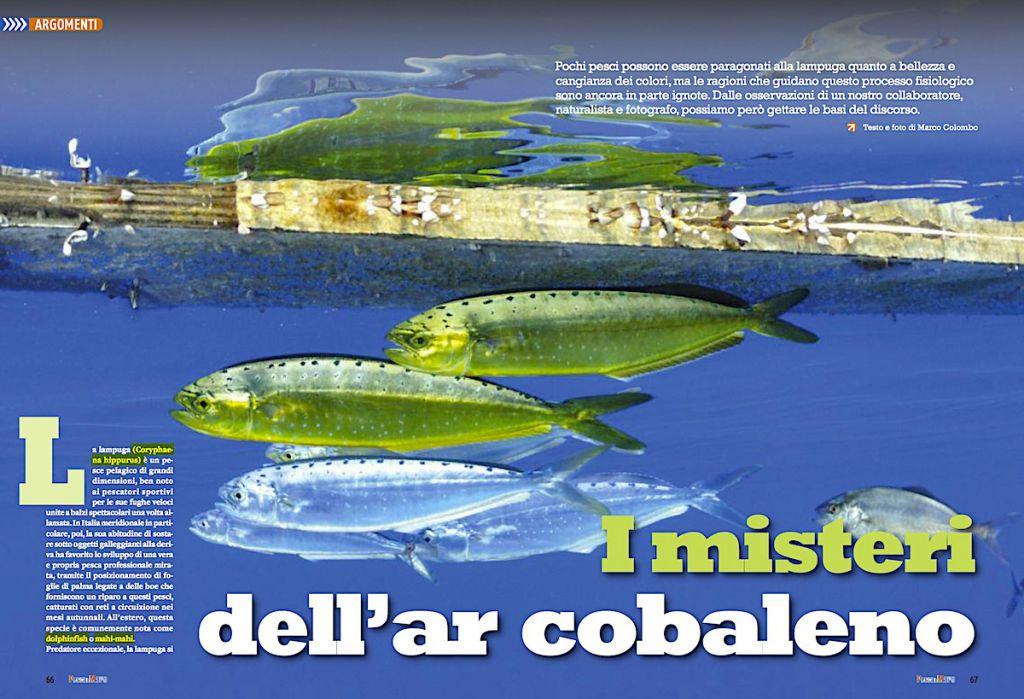 Lampuga: pochi pesci le possono essere paragonati quanto cangianza di colori.