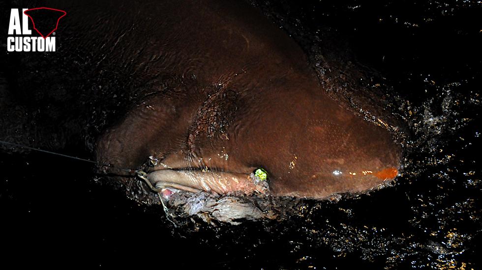 Uno dei più grandi, e forse anche conosciuti abitanti del drop off è il capopiatto o squalo vacca.