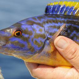 Il tordo fischietto è uno dei pesci più singolari che si possano pescare a bolentino nelle nostre acque